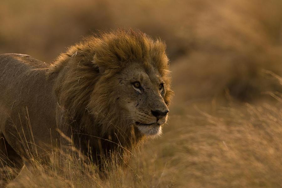 ugroženi lavovi